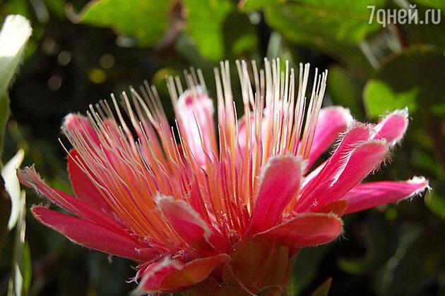 Африканская роза (протея)