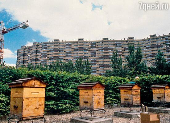 В Париже сегодня трудно найти место, где бы пчелы не обитали. Они жужжат повсюду: в парках, в садах, на балконах, на крышах домов...