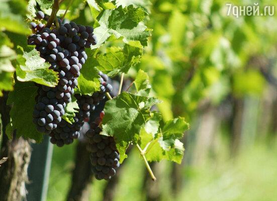 Виноград — один из прекрасных даров осени