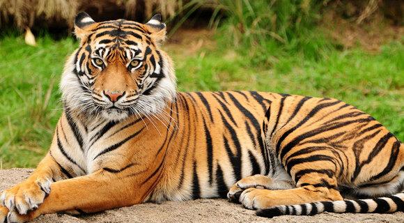 Амурские тигры во время охоты на дрон