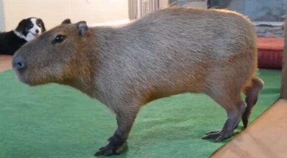 Восемь самых странных домашних животных