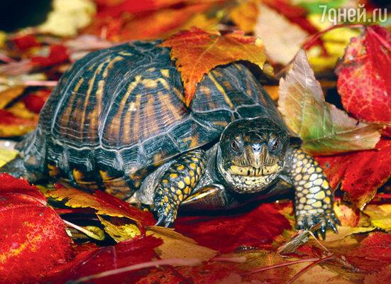 На нашей планете обитают почти бессмертные существа. Например, черепаха коробчатая каролинская живет 138 лет...