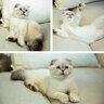 Хозяйкой этой милой шотландской вислоухой кошки по кличке Мередит является Тейлор Свифт.