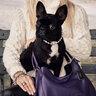 Собака Леди Гаги — Азия породы французский бульдог официально работает фотомоделью и приносит хозяйке доход.