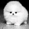 У Пэрис Хилтон дома живет целых восемь собак. Самый очаровательный из питомцев — песик по имени Принц породы померанский шпиц.