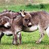 У Риз Уизерспун есть собственная ферма, со своими свиньями, козами, собаками и лошадьми. А еще там можно встретить карликовых осликов Хонки и Тонки.
