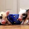Вот таких очаровательных карликовых свинок Виктория Бекхэм подарила супругу — Дэвиду на его 34-летие.
