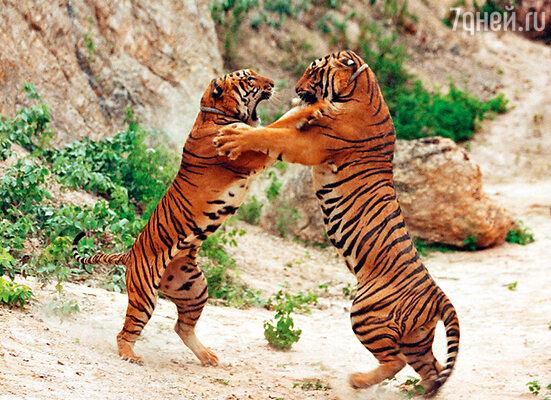 Все обитающие в храме тигры либо родились в нем, либо попали туда детенышами