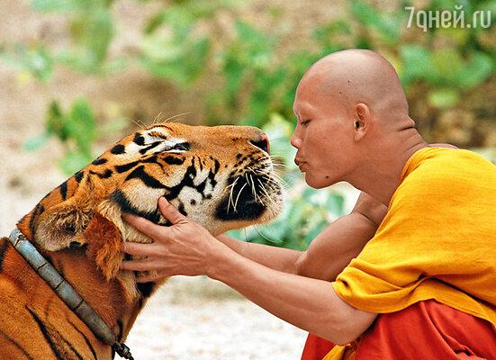 Буддийские монахи верят в реинкарнацию, поэтому к тиграм относятся, как к членам семьи: «Все они наши родственники. Если не в этой жизни, то в прошлой были точно!»
