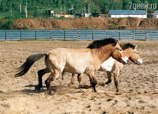 Так близко сам Пржевальский лошадей своего имени никогда не видел