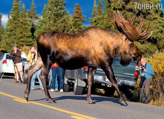 Лоси частенько атакуют проезжающие автомобили и даже нападают напешеходов, защищая свое потомство