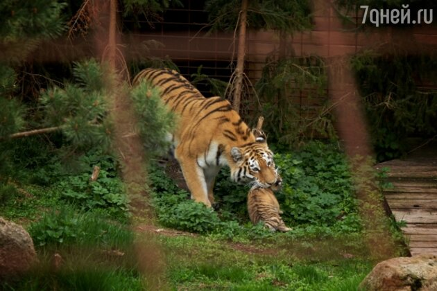 Тигры в Odense Zoo