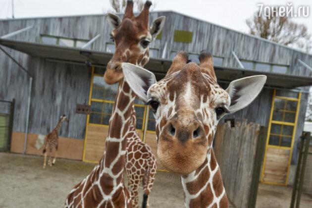 Жирафы в Odense Zoo