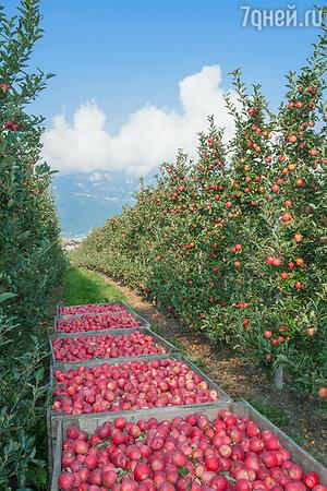 Яблочная ферма , Мерано