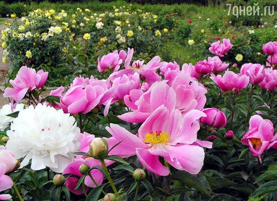 Большой розарий парка Сокольники