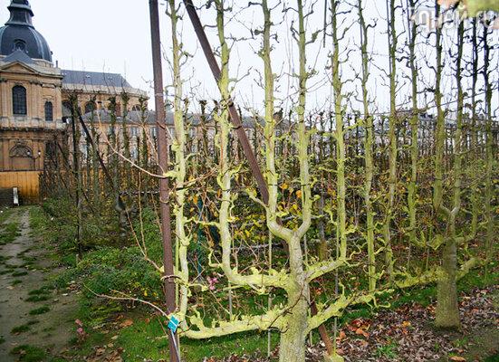 Королевский огород практически не изменился со времен «короля-солнца», там по-прежнему растет множество странных овощей, фруктов и деревьев