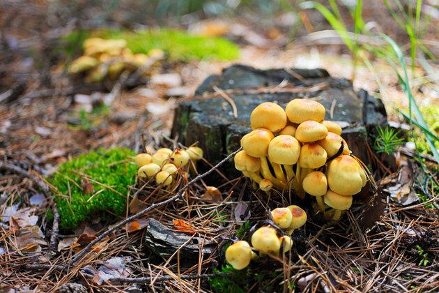 Ложные опята грибы