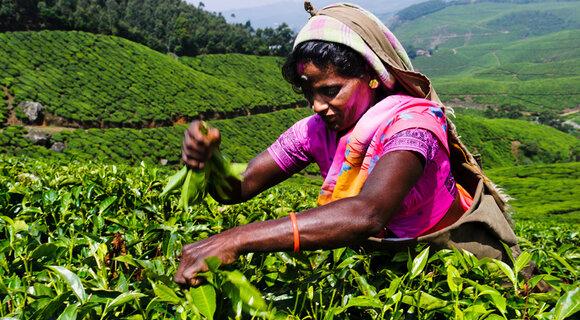 Как собирают чай на плантациях Шри-Ланки