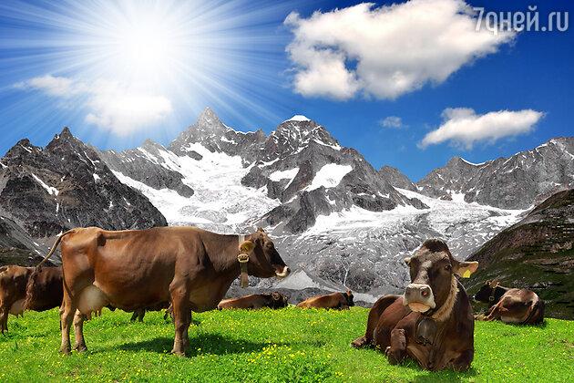 Церматт коровы