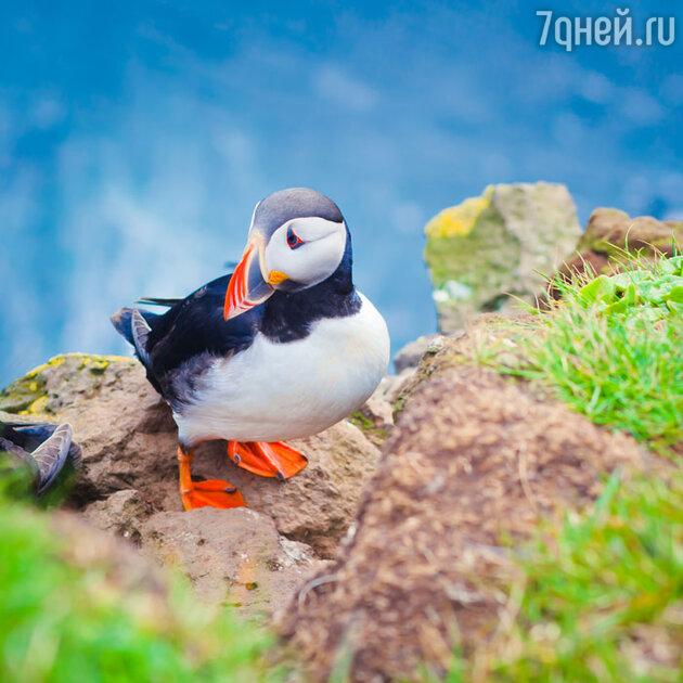 Птичка паффин — символ Исландии
