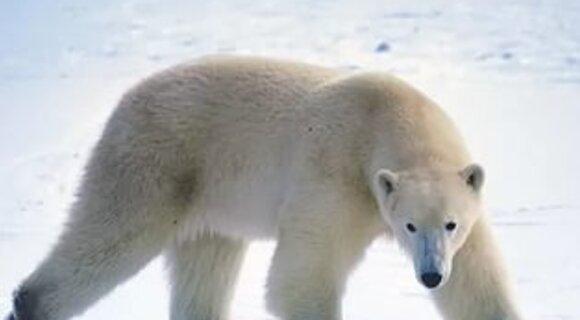 Белый медведь и резиновая покрышка