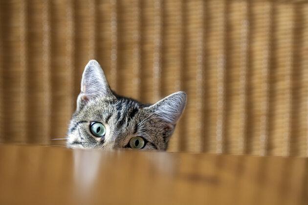 Самые «смелые» коты