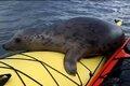 Тюлень-безбилетник решил прокатиться на байдарке