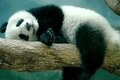 Ну очень артистичная панда!