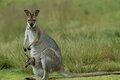 Как они это делают: кенгуру залезает в сумку