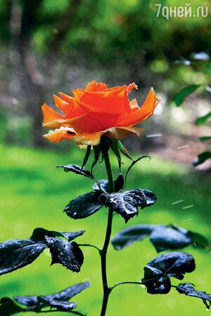 Росой с бутонов роз полезно промывать глаза
