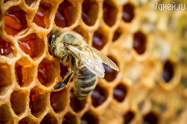 Пчелы откладывают нектар  в восковые ячейки, где ему предстоит «набраться сил» и окончательно созреть