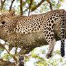Самая удобная поза для сна по мнению леопарда