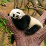 Самая удобная кровать для панды