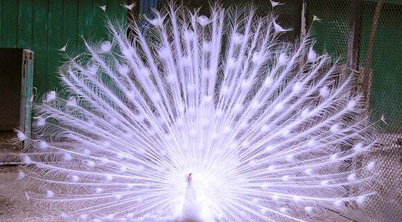 Невероятно красивый белый павлин