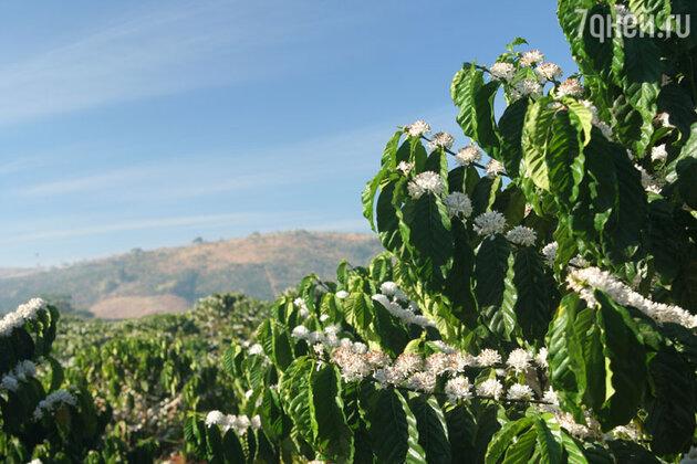 До сих пор в Эфиопии человеку, сорвавшему кофейные цветы, отрубают руку, а раньше дело заканчивалось смертной казнью.