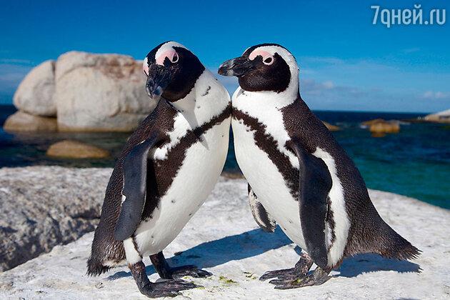 Африканские пингвины, ЮАР