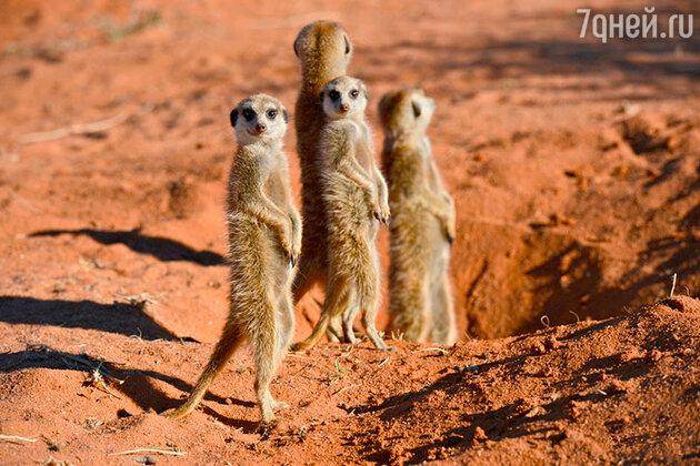 Сурикаты. Пустыня Калахари, ЮАР