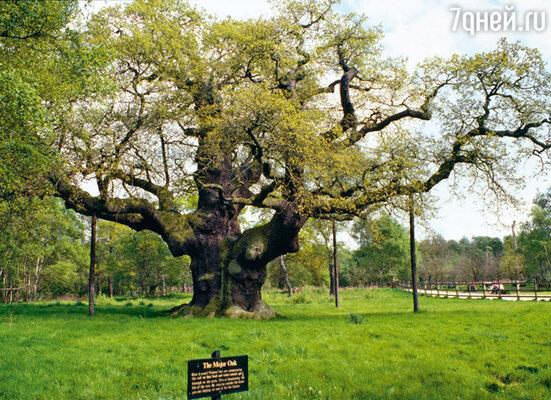 Знаменитый дуб Шервудского леса, возле которого собиралась ватага славного Робина
