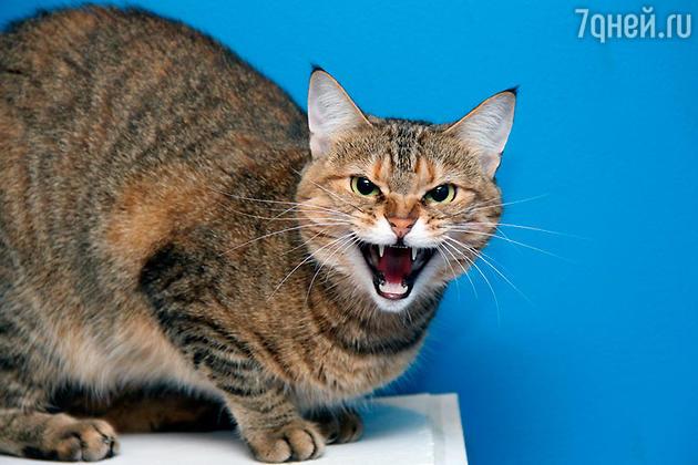 Сердитый котэ