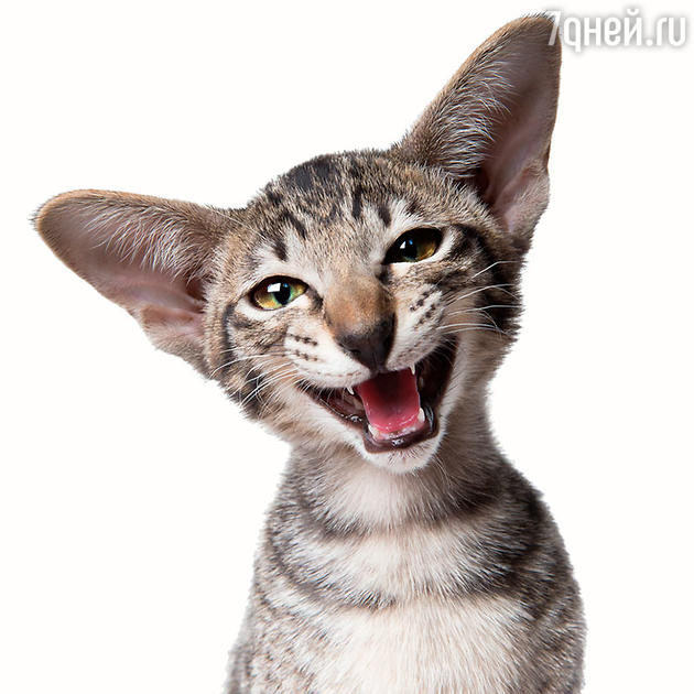 Улыбаха кот