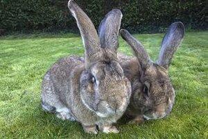 Как дерутся кролики?