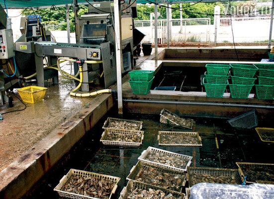 Такой вот агрегат счищает с устриц грязь, прилипшие к панцирям водоросли, мелкие ракушки и рачков