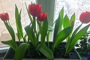 У Лолиты дома зацвели тюльпаны