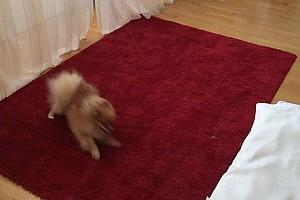ВИДЕО: собачку Екатерины Волковой захватила предновогодняя суета